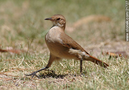 Rufous Hornero - Photos of birds - Fauna - MORE IMAGES. Image #21727