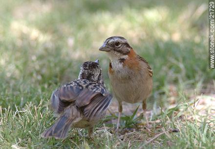 Rufous-collared Sparrow - Photos of birds - Fauna - MORE IMAGES. Image #21729