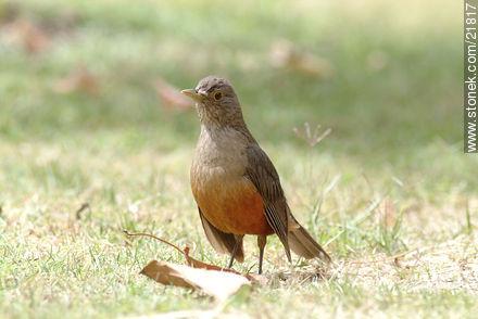 Thrush - Photos of birds - Fauna - MORE IMAGES. Image #21817