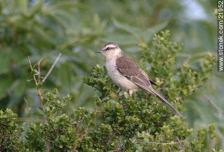 Chalk-browed Mockingbird - Photos of birds - Fauna - MORE IMAGES. Image #21952