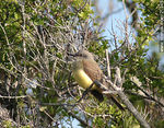 Photo #21945 - Tropical Kingbird
