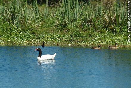 Black neck swan - Photos of birds - Fauna - MORE IMAGES. Image #11659