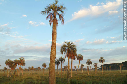 Photos of the palm woodlands - Department of Rocha - URUGUAY. Image #11816