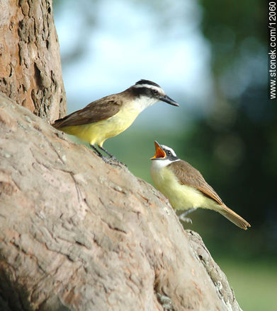 Great Kiskadee and its chick - Photos of birds - Fauna - MORE IMAGES. Image #12060