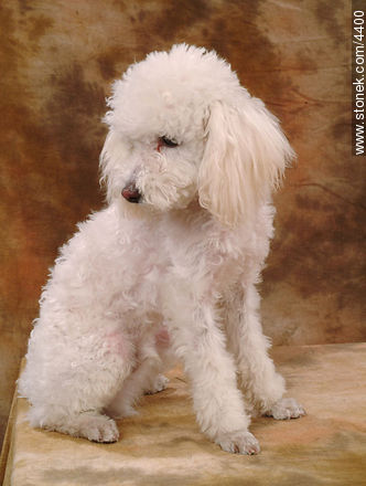 Caniche - Photos of dogs - Fauna - MORE IMAGES. Image #4400