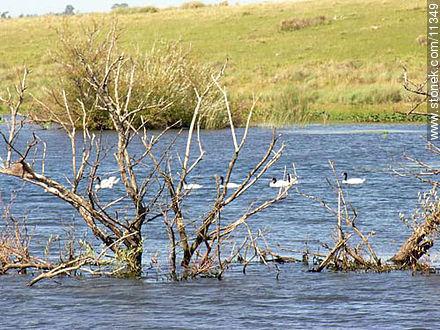 Black neck swans - Photos of San Pedro de Timote - Department of Florida - URUGUAY. Image #11349